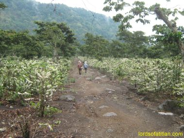 Don Victor and Don Chico walking among the flowering coffee at the end of April, Finca Pampojilá