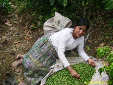 Choosing coffee in the finca Pampojilá