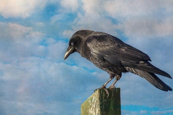 CrowSmpthy