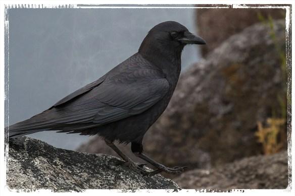 CrowWlk