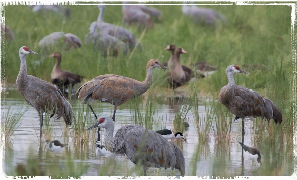 cranefamily