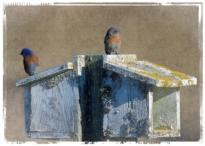 male and female Western Bluebird
