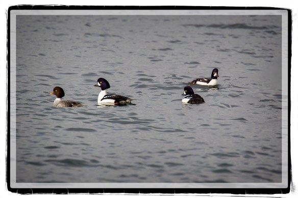 CommonGoldeneye2015
