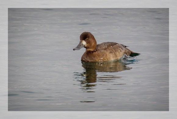 GrtrScaup2