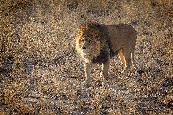 LionInField