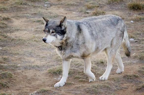 WolfHybrid