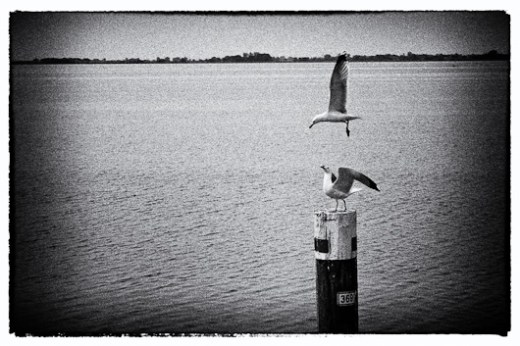 Gabbiani sulla laguna di Grado