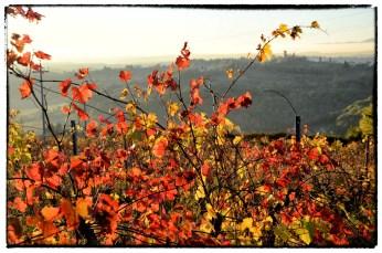 Vigna con foglie rosse e gialle