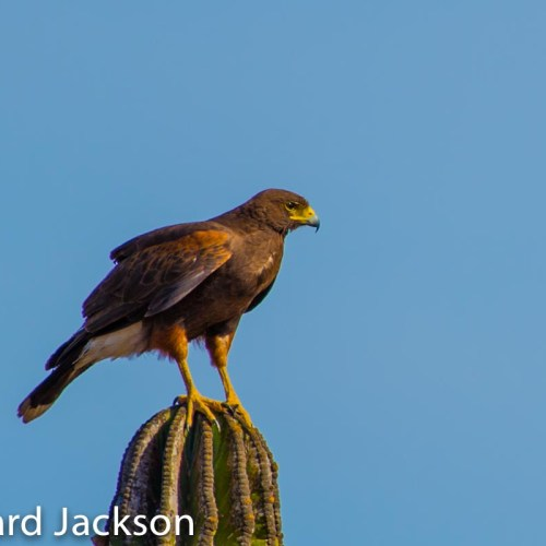 Harris Hawk in Cardon