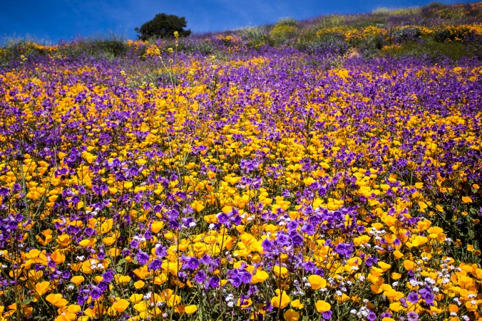 California Super Bloom 2017