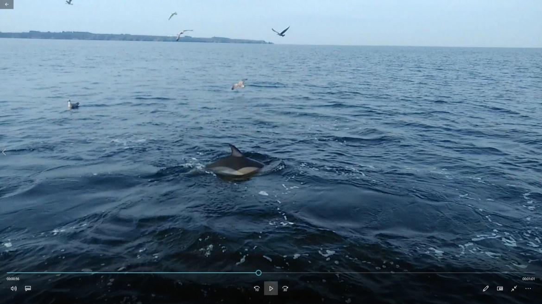 chasse de dauphins sur des sardines