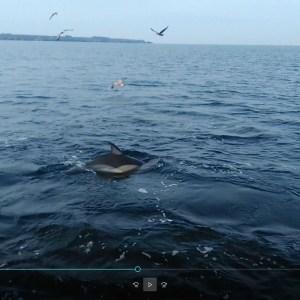 Dauphins en chasse sur des sardines
