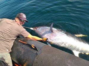gros thon rouge du Morbihan