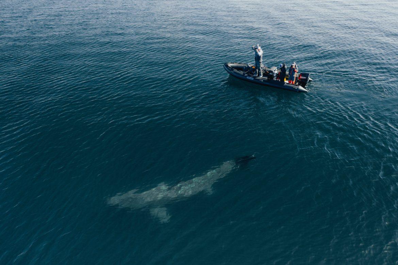 requin pèlerin au large de Lorient