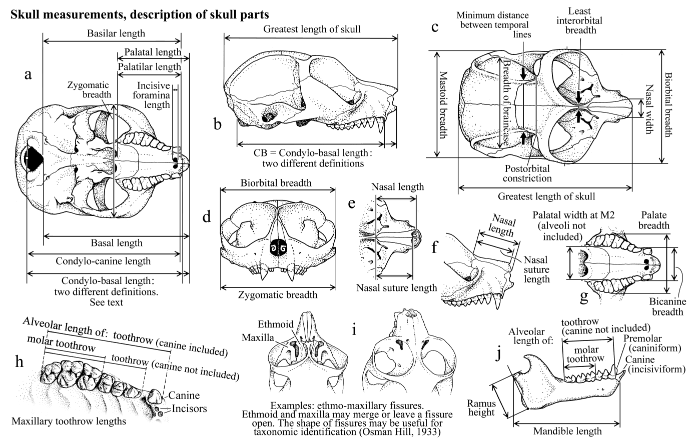 Skull And Dentition In Lorises And Pottos