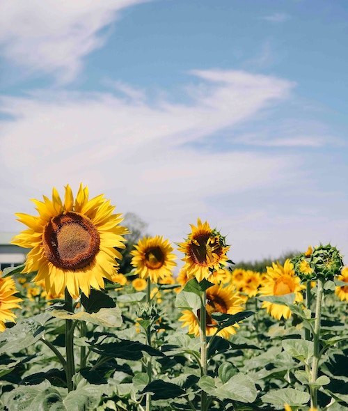 """""""Happy"""" photo of sunflowers under a blue sky with wisps of clouds. For blog post on positive thinking."""