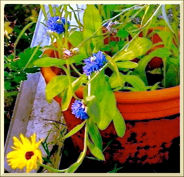 Corn flowers in the pot