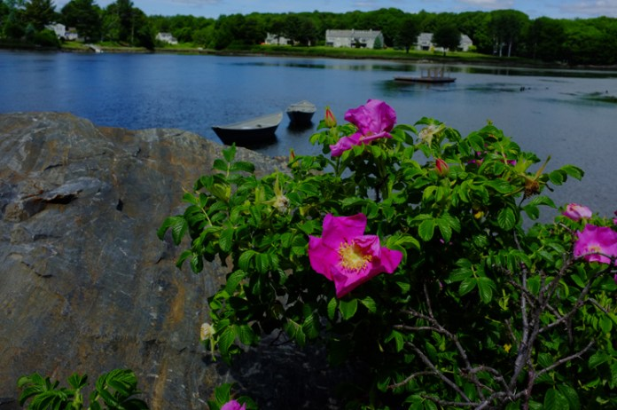 wild-roses-by-the-water1