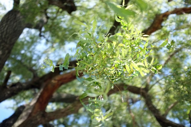upward view of willow tree