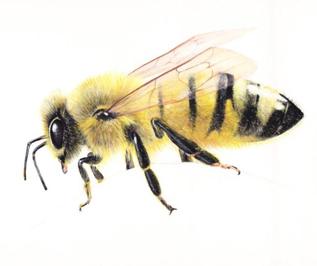 abeille peinture gouache