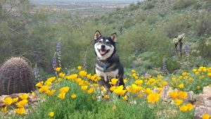Kuma the dog in a field of yellow flowers