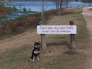Kuma watches out for gaters at Brazo Bend State Park