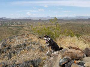 Kuma made it to the top of the Bobcat Ridge
