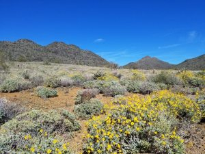 Cave Creek in bloom