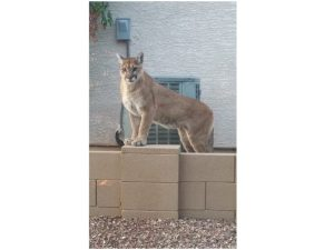Mountain lion attack in Tramonto