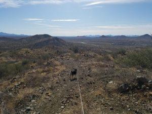 Kuma at Sonoran Preserve