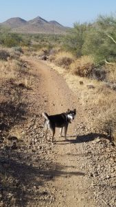 Kuma on the Ocotillo trail