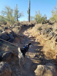 Kuma on the P trail
