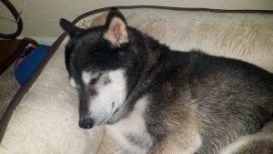 Kuma rests after hike