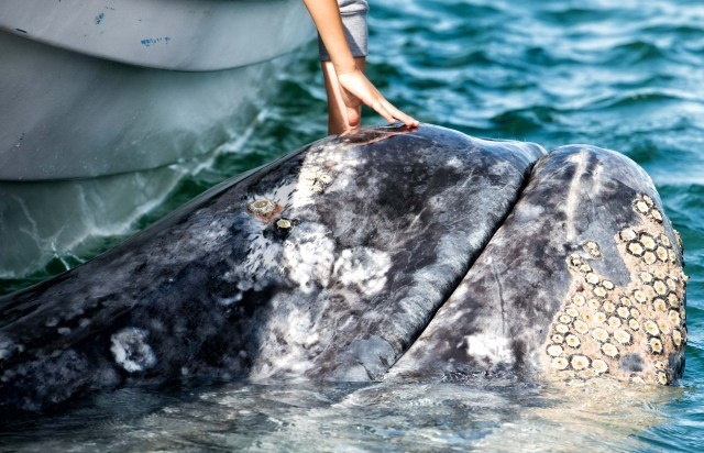 Luvis Tours Gray Whale in Magdalena Bay