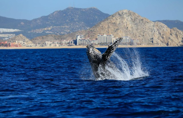 Cabo Expeditions Whale Concert