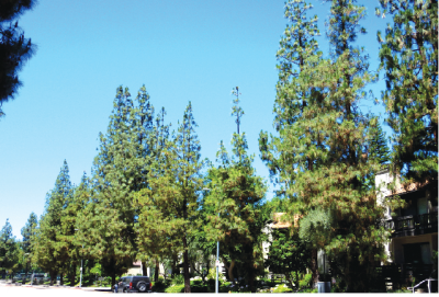 Cerritos and surrounding communities are home to thousands of Canary Island pine trees that harbor Cryptococcus gattii (C. gattii ). C. Gattii can cause infections with those who have compromised immune systems. C. Gattii infections were prevalent in Southern California but doctors did not know how people caught the virus until a Duke University project found the virus in the pine trees.