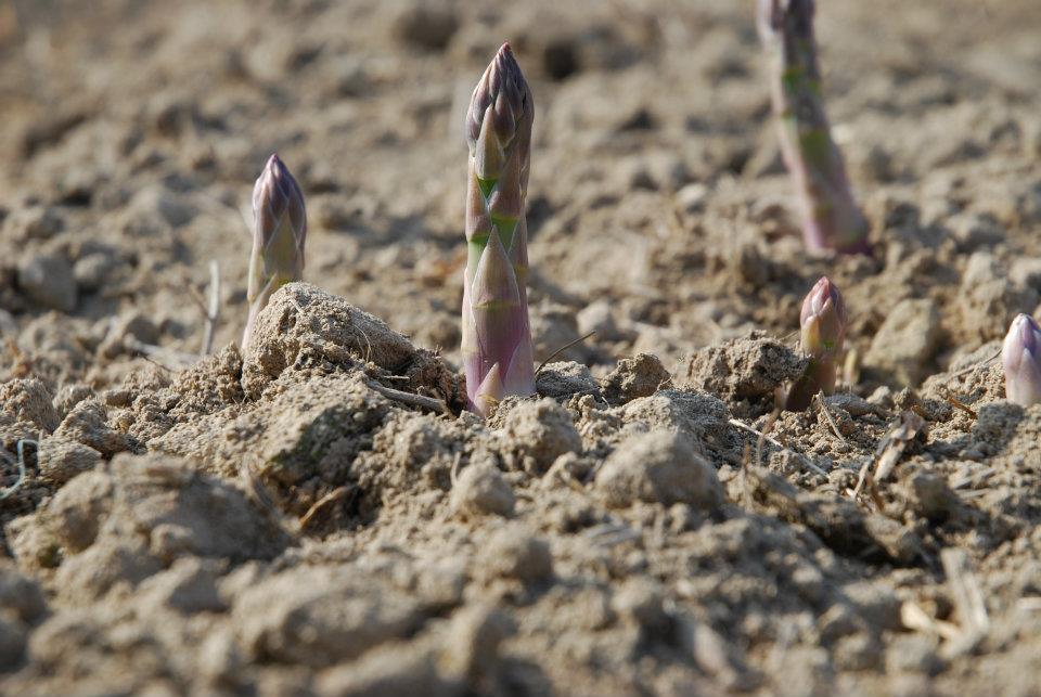 Al via l'85ª sagra dell'asparago di Santena