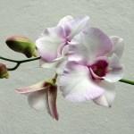 A Mercenasco la 6ª edizione di Orchiday