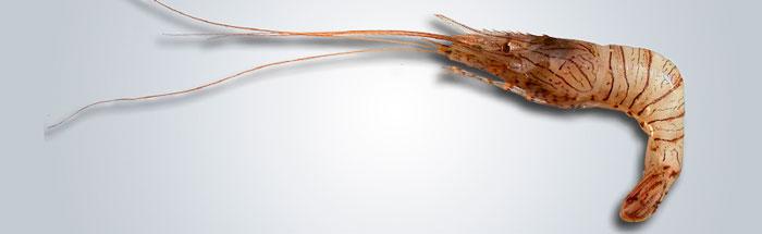 CAMARÓN---Palaemon-serratus