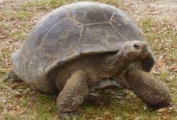 la tortuga uno de los animales mas longevos