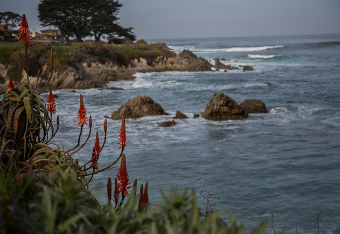 Flowers along the coast in Pacific Grove CA