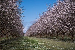 Two rows of almond trees in bloom in Woodland CA