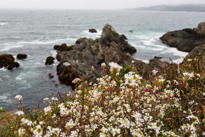Flowers and Rock formations at Mendocino Headlands Sate Park CA | LOST NOT FOUND | Mendocino CA Camping Weekend
