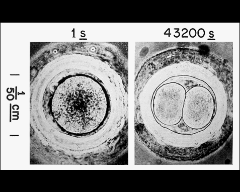 029 - Fertilized ovum, Albert Bonniers, Forlag, Stockholm