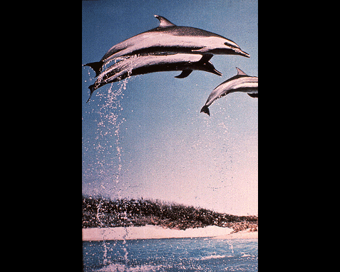 054 - Dolphins, Thomas Nebbia