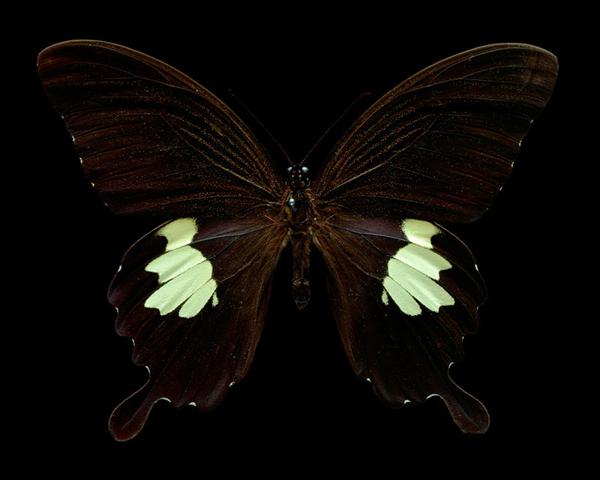 Papilio Chaon - 80x100cm Archival inkjet Print on Museo Portfolio Rag
