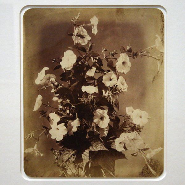 Adolphe Braun - Petunias (de; Fleurs Photographiees) - Albumine druk 1885