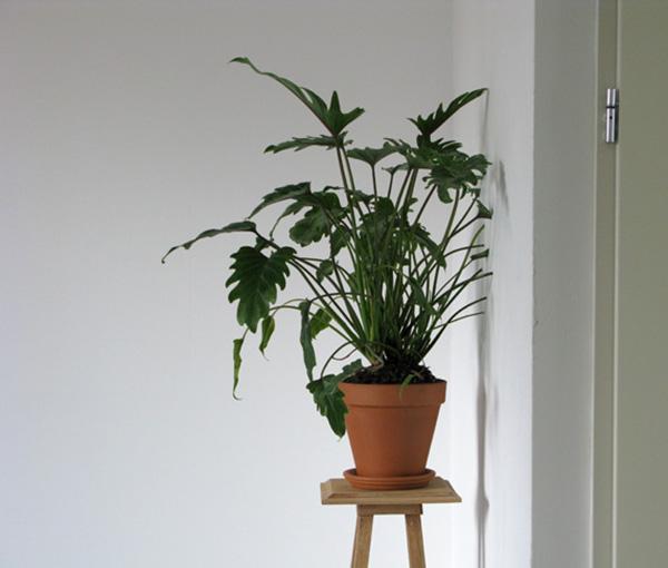 Ruben Bellinkx - Philodendron Xanad 02