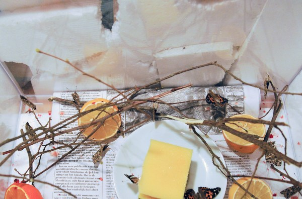 Stefan Cools - Painted Lady (Vanessa Cardui) - Takken, citrusvruchten en distelvlinder
