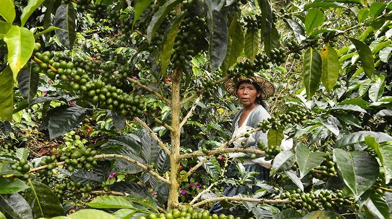 Bolivia produce café de alta calidad, pero no se queda en el país para  degustarlo   Los Tiempos
